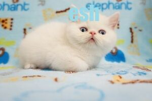 White Exotic Shorthair (Garfield) Kitten