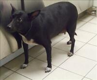 "Adult Female Dog - Chihuahua-Miniature Pinscher: ""Jenny"""