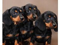 Stunning Smooth Dachshund Puppies