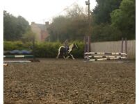 14.1hh cob mare for sale