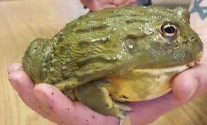 Pixie Frog for Sale