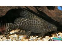 Pair of Synodontis feather fin catfish