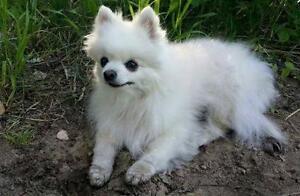 "Senior Female Dog - American Eskimo Dog: ""Becka"""