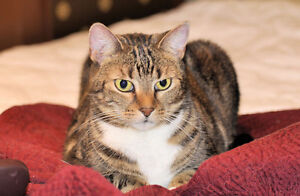 "Adult Female Cat - Tabby-Domestic Short Hair: ""Isabel"""