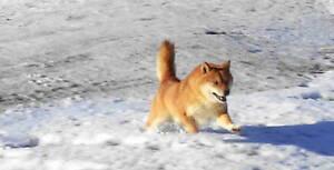 CKC registered shiba inu pups(2 male pups still available) Regina Regina Area image 5