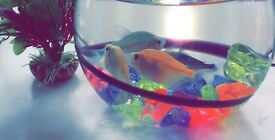 Two goldfish free to a good home