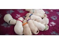 fantastic mam and puppies Golden Retriever Available Ready Now