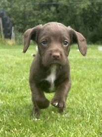 Beautiful Sprocker Pups FOR SALE
