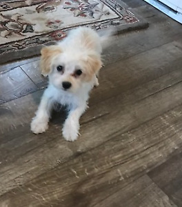 MORKIE 3 months trained   FEMALE