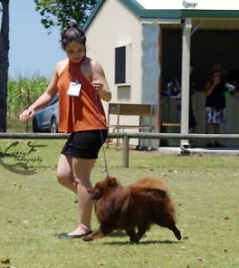 Pomeranian Cousin  (German Spitz Mittel) Mackay Mackay City Preview