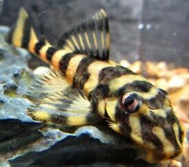 Tropical Fish | 1000's to choose from | L# Plecs, Platy, Neons, Mollies, Cichlids and more!
