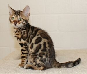 Beautiful Brown Rosetted Bengal  Female