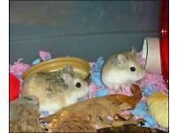 Two. Baby roborovski dwarf hamsters abd cage