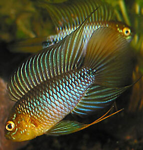 "APISTOS! ""Apistogramma cichlids"" NEW at FINATICS!"