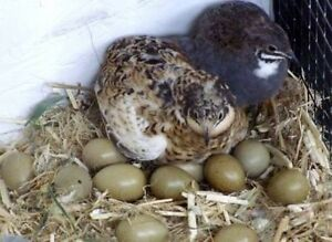 Wtb king quail fertile eggs Narangba Caboolture Area Preview