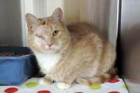 """Adult Male Cat - Domestic Short Hair: """"Jeter"""""""