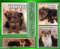 MORKY ET UNE YORKY POO