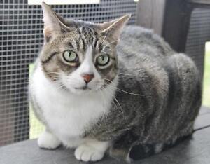 "Adult Female Cat - Domestic Short Hair: ""Sammy"""