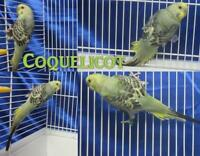 "Young  Bird - Parakeet (Other): ""Coquelicot"""