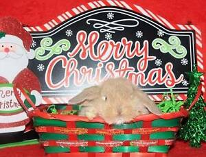 CHRISTMAS BABY BUNNIES(ready to go now and at Christmas) FROM $50 Clayton Monash Area Preview