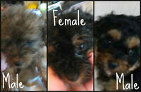 YorkiePoo Puppies 2 litters