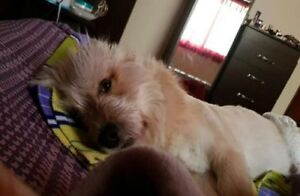 "Young Male Dog - Maltese-Terrier: ""Alexi in foster in WA"""