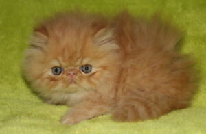 Persian  kittens and proven breeders.