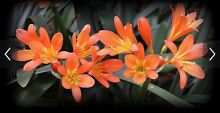 Clivia plants advanced - approx 35 plants Cremorne Yarra Area Preview