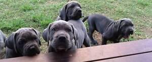 NEO MASTIFF PUPS Rockhampton Surrounds Preview