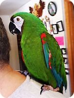 Male Severe Macaw with huge cage