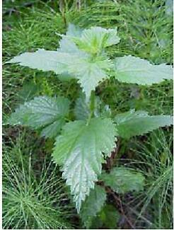 Stinging Nettles : if anyone got them Please We searching forthem Melbourne CBD Melbourne City Preview