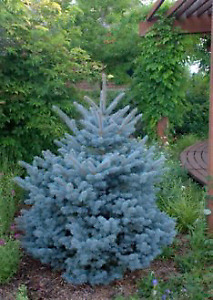 BLUE SPRUCE OR PINE TREES WANTED(about a dozen)