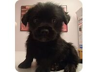 Scottish terrier x jack Russell puppy