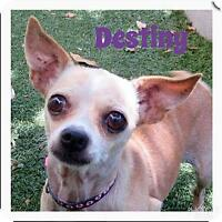 "Young Female Dog - Chihuahua: ""Destiny"""