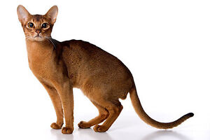 FREE PUREBRED ABYSSINIAN INDOOR CAT