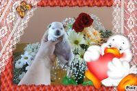 *LA MAISONNÉE* 6 Petits Bijoux Chihuahuas sont nés(es)