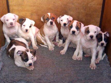 Boxer or American Bulldog puppys Geelong 3220 Geelong City Preview