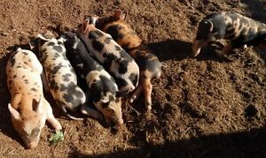 "Piglets - ""Weaners"""
