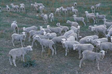 Merino Wether Lambs One Tree Hill Playford Area Preview