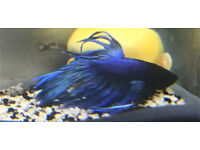 Crown tail male fighter fish betta