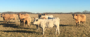 20 bred Charolais cows for sale Strathcona County Edmonton Area image 2