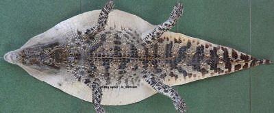 Кожа, шкуры 100% Genuine Crocodile VIETNAM