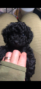*Pure breed Toy Poodle* - only 3 puppies available