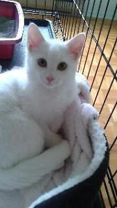 "Baby Male Cat - Domestic Short Hair-white: ""Youri"""