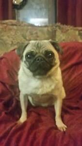 CKC Reg. Pug pups health guarantee