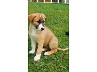 Lurcher x collie Puppies