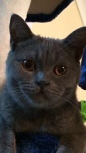 Much loved British shorthair missing. Reward offered! Medina Kwinana Area Preview