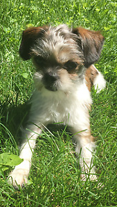 1 Year Old Shorkie in Need of Forever Home
