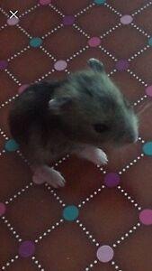 hamster bebe syrien de 3 sem