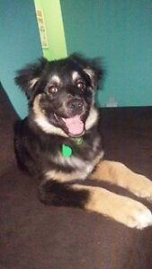 Paws for Love dog rescue has a 4 month sheph X up  for adoption